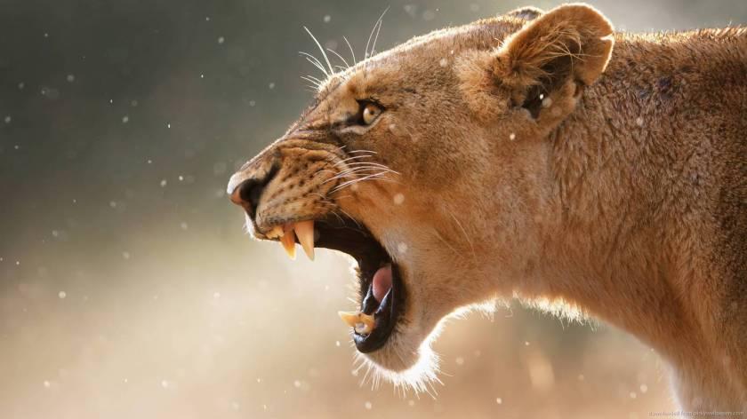 roaring-lioness