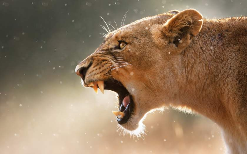 lioness-aggression-teeth-face-wallpaper